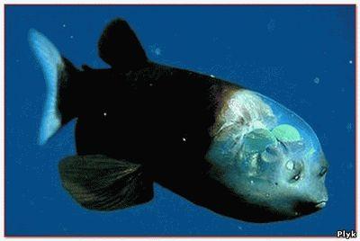 рыба Macropinna microstoma